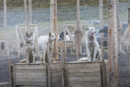 sled dogs: Arctic sled dogs in their kennel, North pole, Svalbard