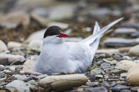 webbed foot: Arctic Tern standing near her nest protecting her egg from predators