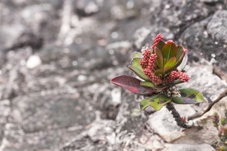 epiphytic: A very rare endemic plants on the plateau of Roraima - Venezuela