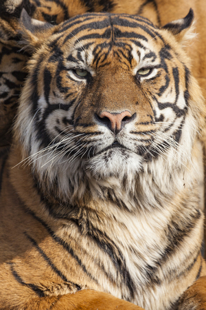 tiger page: Close-up of a Tigers face. Stock Photo