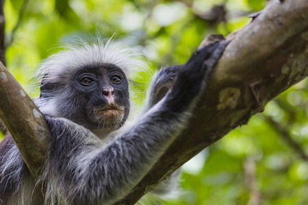 endangered species: Endangered Zanzibar red colobus monkey (Procolobus kirkii), Jozani forest, Zanzibar