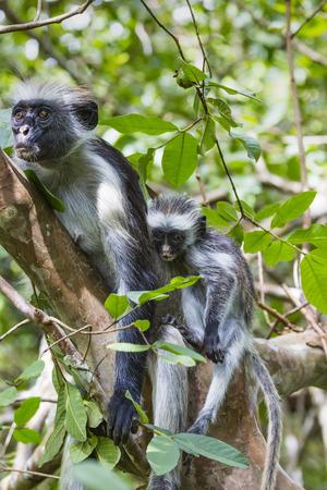 endangered: Endangered Zanzibar red colobus monkey (Procolobus kirkii), Jozani forest, Zanzibar