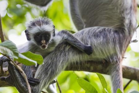 zanzibar: Endangered Zanzibar red colobus monkey (Procolobus kirkii), Jozani forest, Zanzibar
