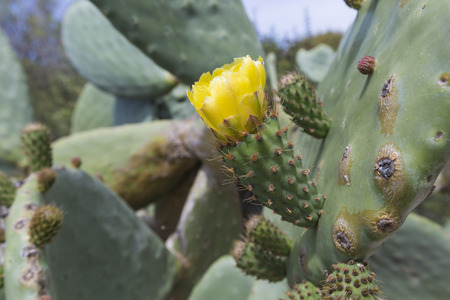 microdasys: Prickly pear cactus close up