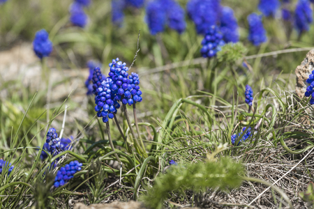 miscarry: Hyacinth with green grass
