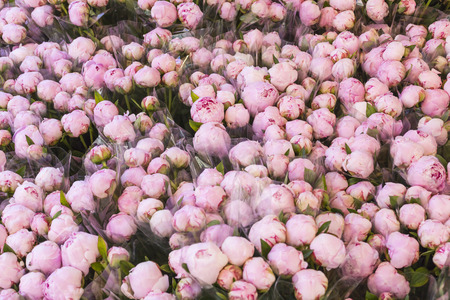 pion: Lots of pretty and romantic violet and pink peonies in floral shop