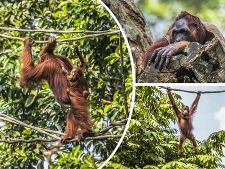 Collage of Orangutan - travel background (my photos)