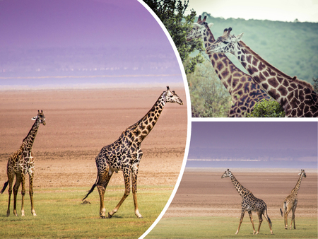 Collage of Giraffe from Tanzania - travel background (my photos)