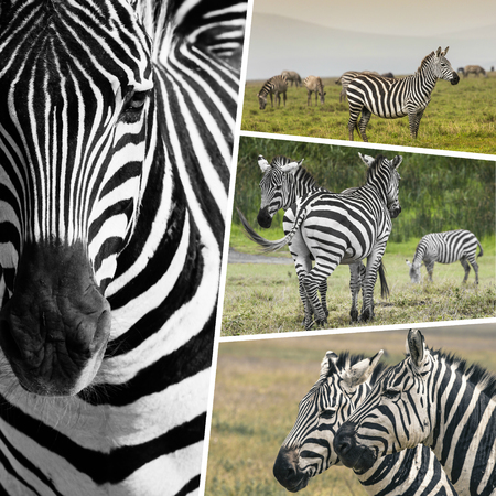 burchell: Collage of Zebras from Tanzania - travel background (my photos)