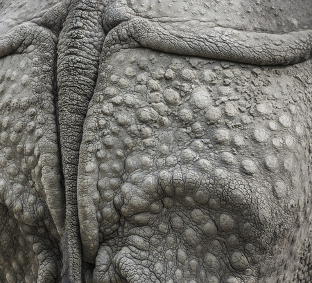 grosse fesse: Closeup of the strong armor of a rhinoceros
