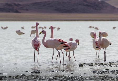 lipez: Flamingos on lake in Andes, the southern part of Bolivia