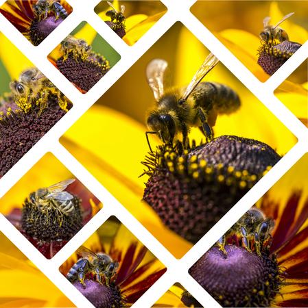 Collage von Western Honey Bee Bilder - Reisen Hintergrund (meine Fotos)
