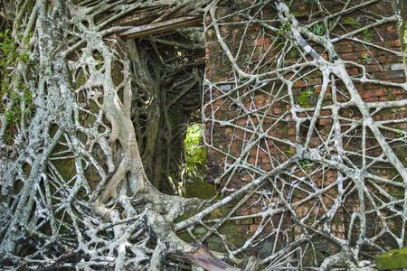Ruine d'un bâtiment abandonné recouvert de racines sur l'île de Ross. Îles Andaman, Inde