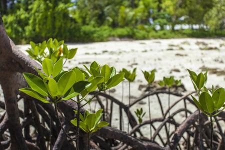 mangroves: Mangroves in Andaman beach, India Stock Photo