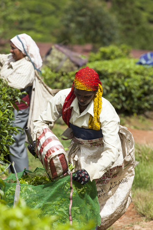 MUNNAR, INDIA - DECEMBER 16, 2015 : Woman picking tea leaves in a tea plantation, Munnar is best known as Indias tea capital. December 16. 2015 - Munnar, Kerala, India