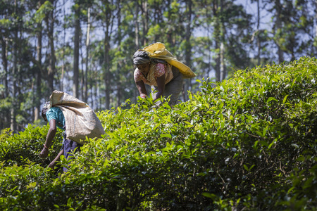 NUWARA ELIYA, SRI LANKA - DECEMBER 02: Female tea picker in tea plantation in Nuwara Eliya, December 02, 2016. Directly and indirectly, over one million Sri Lankans are employed in the tea industry. Editorial