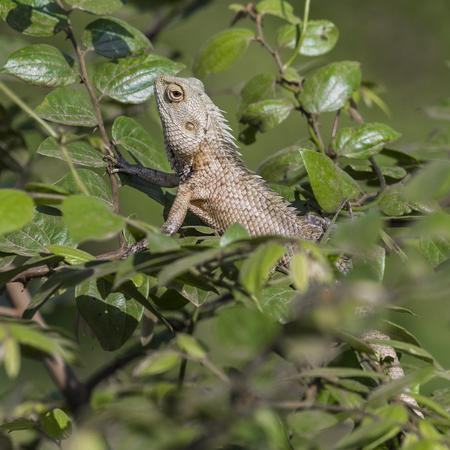 aruba: Lizard close up macro animal portrait