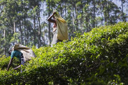 NUWARA ELIYA, SRI LANKA - DECEMBER 02: Female tea picker in tea plantation in Nuwara Eliya, December 02, 2016. Directly and indirectly, over one million Sri Lankans are employed in the tea industry. Editorial
