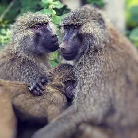 Baboon - Tarangire National Park - Wildlife Reserve in Tanzania, Africa Stock Photo