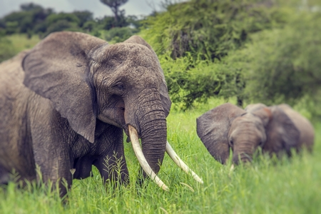 pozo de agua: Mother and baby african elephants walking in savannah in the Tarangire National Park, Tanzania