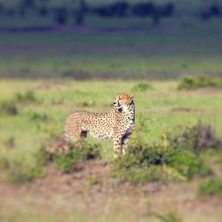 acinonyx: A cheetah (Acinonyx jubatus) on the Masai Mara National Reserve safari in southwestern Kenya.