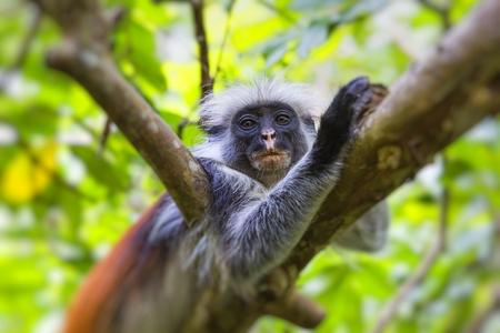cuddly baby: Endangered Zanzibar red colobus monkey (Procolobus kirkii), Jozani forest, Zanzibar