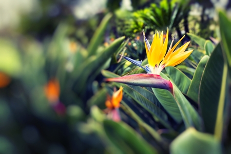 Strelitzia Reginae, a bird of paradise   Stock Photo