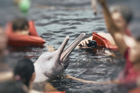 pink dolphin: People feeding the famous Pink Dolphin (Boto Rosa) in Amazon, Brazil.