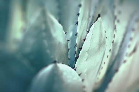 bunched: Sharp pointed agave plant leaves bunched together.  Stock Photo