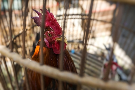 Caged rooster ready to sell at street market in Yogjakarta, Indonesia.