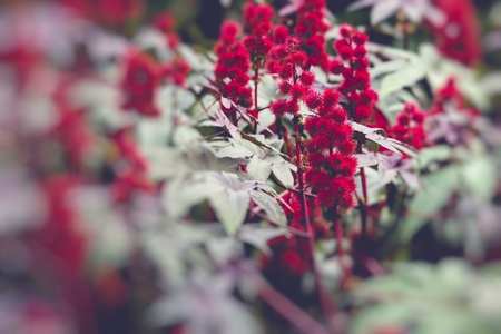 purgative: Castor oil plant with red prickly fruits and colorful leaves