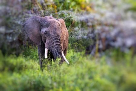 African elephant in the Tarangire National Park, Tanzania