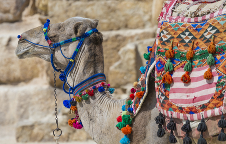 cheops: Egyptian Camel at Giza Pyramids background. Tourist attraction - horseback riding on a camel. Traditional ancient places in the desert of Egypt and tour on Africa. Stock Photo