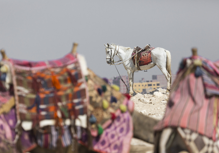 A horse stands waiting for tourist riders near the giant pyramid of Giza in the desert outside of Cairo, Egypt.
