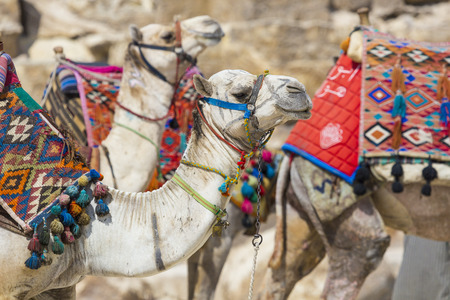 Egyptian Camel at Giza Pyramids background. Tourist attraction - horseback riding on a camel. Traditional ancient places in the desert of Egypt and tour on Africa. Stock Photo