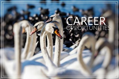 Career Opportunities. Swans on the lake. Zdjęcie Seryjne