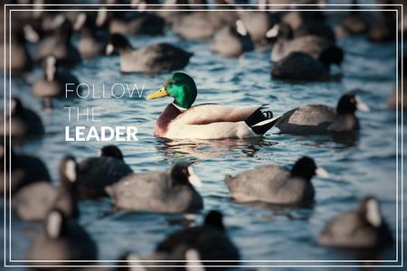 Word Follow the Leader. Wild  Mallard ducks swim in the lake.