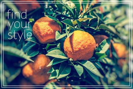 Find your style.Branch orange tree fruits green leaves.