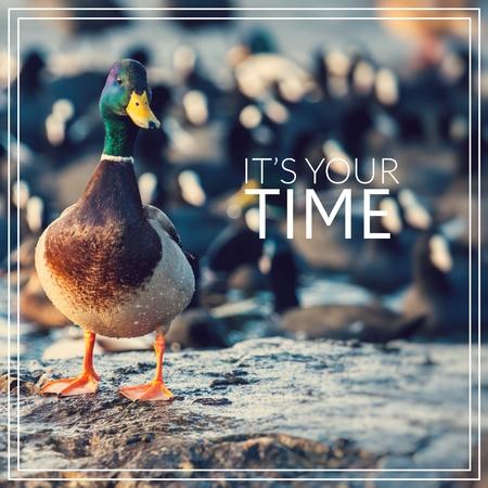 Its your time. Wild male Mallard duck.