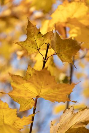 Season of beautiful autumn leaves. Nature background.