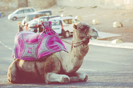 Dromedary for tourist in Agadir, Morocco.