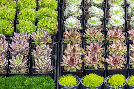 Succulent plants and cactus in pots for sale in street market.