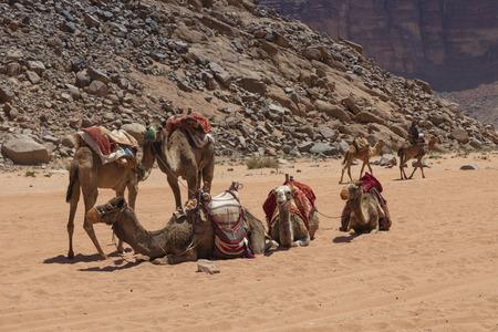 Resting camels in the Red Desert in Wadi Rum, Jordan, Middle East. Standard-Bild - 124316514