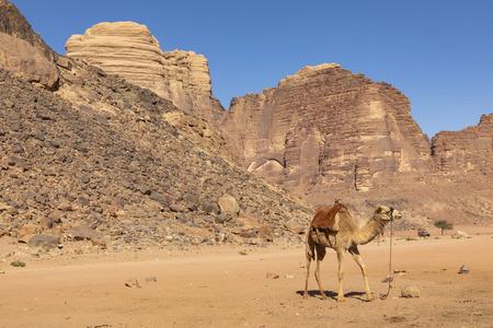 Resting camels, Wadi Rum desert, Jordan. Standard-Bild - 124316569