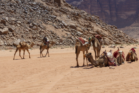 Resting camels in the Red Desert in Wadi Rum, Jordan, Middle East. Standard-Bild - 124316631