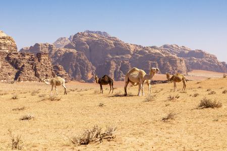 Resting camels, Wadi Rum desert, Jordan. Standard-Bild - 124316438