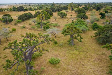 Aerial view of Baobab tree. Senegal. West Africa. Photo made by drone from above.