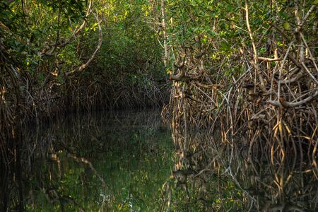 Gambia Mangroves. Green mangrove trees in forest. Gambia.