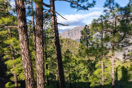 Pine forest at Caldera de Taburiente National Park. Viewpoint La Cumbrecita, La Palma, Canary Island, Spain. Foto de archivo