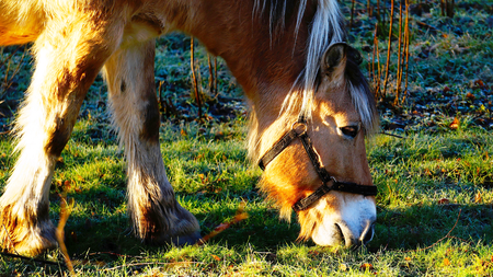Norwegian Fjord Horse eating grass, around frosted, green grass, grazing among the rocks. North Sea Coast. Norwegian winter. The sun low on the horizon. Telemark region of Norway photo
